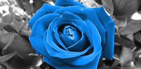 mavi-gül